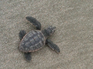 Pawleys Island Baby Loggerhead Turtle Hatchling