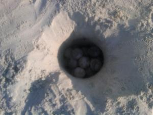 Home for the Loggerhead Eggs for the Next 60 days or so