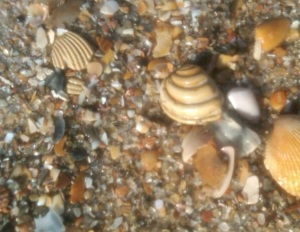 Pawleys Shell - Quahog Clam found on Pawleys Island