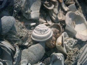 White Pawleys Island Shell found in Surfside Beach