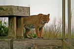 Kiawah Bobcat